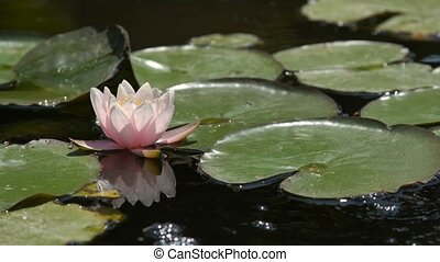 Flower of a pink lily in a pond among green foliage