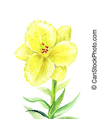 yellow Lilium - Yellow lily watercolor. Illustration of a...