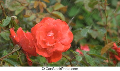 A beautiful red rose under the drops of rain.