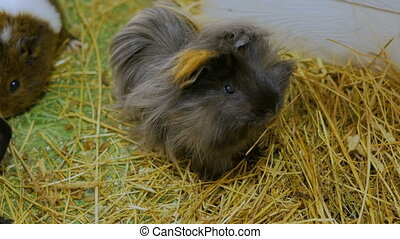 Group of guinea pigs in contact zoo