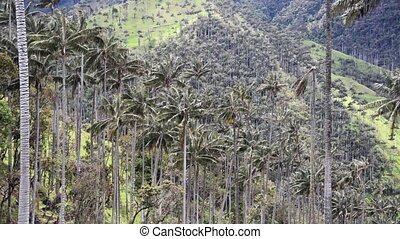 Dense Wax Palm Landscape - Forest of dense wax palm trees in...