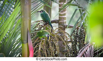Two Toucanets in a Tree - Two Emerald Toucanets in a palm...