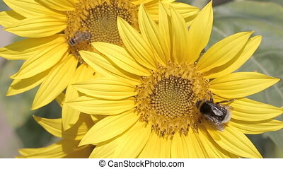 Bumblebees on a sunflower