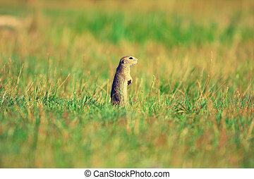 Alerted squirrel . Ground squirrel alert and watching...