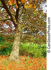 Oak tree in fall 01