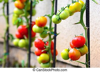 Growing Tomatoes - Close up of growing tomatoes lean on...