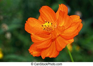 Cosmos sulphureus Cosmic Red (Cosmea) - Yellow to orange red...