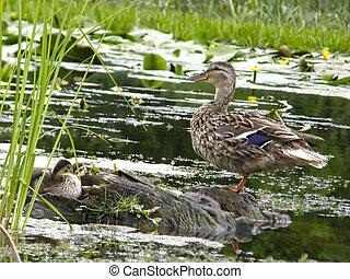 wild ducks on the water. - Beautiful wild ducks on the...