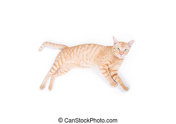 cute yellow cat isolated on white background.