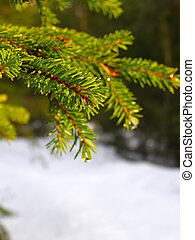 Winter Branch Of Pine - winter branch of pine under a snow