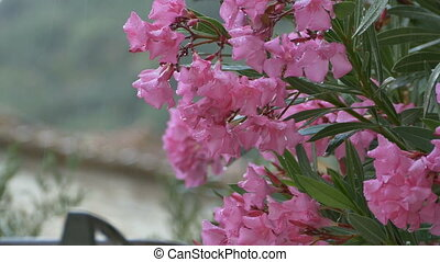 Raining over Pink Flowers - Raining over pink buds and...