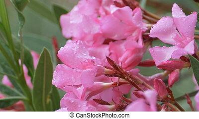 Pink Rainy Wet Flowers - Water drops on pink greek flowers.
