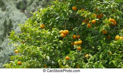 Orange Fruits in Tree - Ripe oranges on the tree branches.