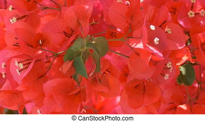 Flowers in Ionian Islands - Red flowers in Greek Ionian...