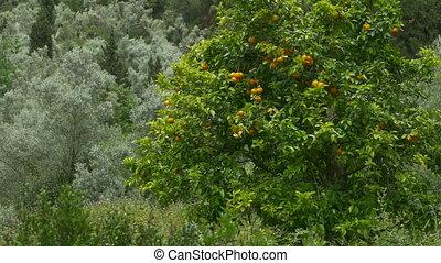 Orange Tree in Nature