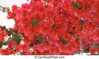 Greek Red Flowers - Greek red flowers in mediteranean.
