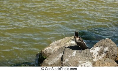 Wild bird Great Cormorant sitting on a rock in the sea....