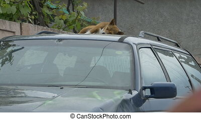 Dog Sleeping on a Car - A dog is sleeping on a car hood.