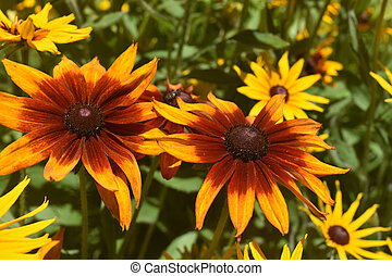 Breathtaking Yellow and Brown Black Eyed Susans -...