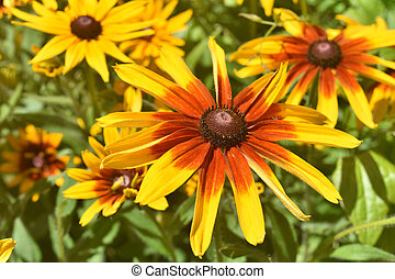 Stunning Close Up of these Black Eyed Susans in the Spring -...