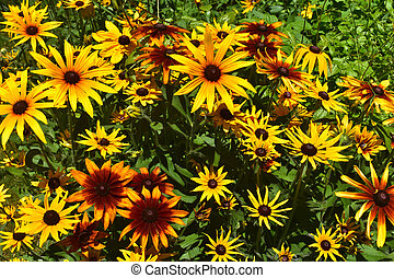 Scenic Close Up View of Beautiful Black Eyed Susans - Scenic...