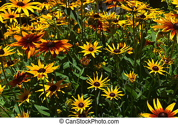 Stunning Yellow and Brown Black Eyed Susans in the Spring -...
