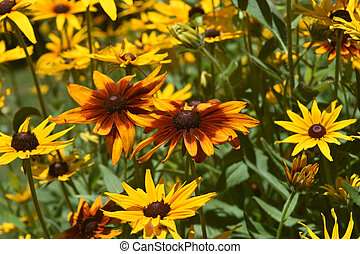 Stunning Colors on these Black Eyed Susans - Stunning...