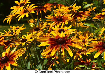 Gorgeous Black Eyed Susans Blooming in a Garden - Gorgeous...