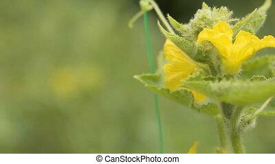 Cucumber flower closeup in the garden