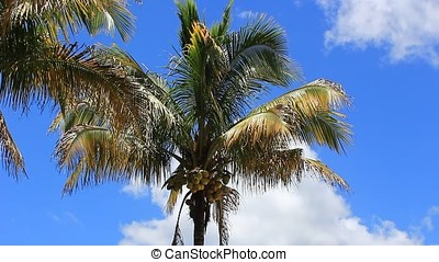 palm tree - coconut palm tree against sunny blue sky with...