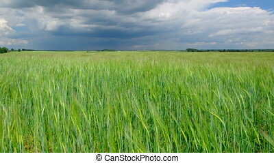 Field with Common wheat. Belarus landscape blue cloudy sky