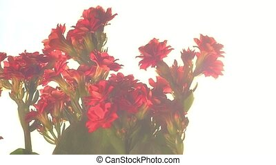 Kalanchoe - Buddhist temple herb - Kalanchoe red flowers....