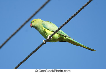 Rose-ringed Parakeet sitting on a wire