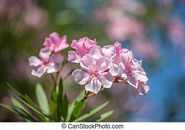 Close up soft pink sweet oleander flower. Sweet Oleander...