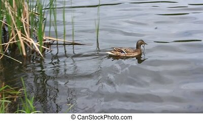 duck Gadwall on the water - grey duck Gadwall swims on the...