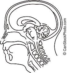 Head illustration of MRI examination
