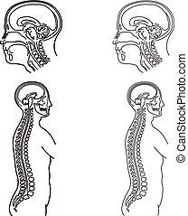 Human body illustration of MRI examination