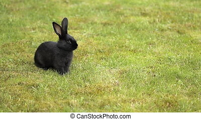 Black Rabbit On Green Grass
