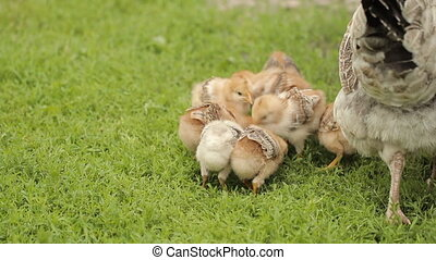 Small Chickens with a Hen on Green Grass