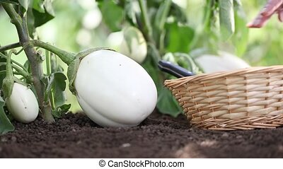 white eggplants, hands put the basket in the vegetable...