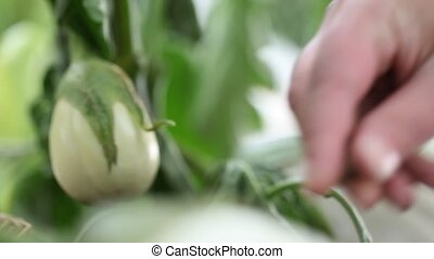 eggplants white plants, hands fertilize the soil in the...