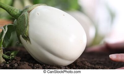 eggplants white plants, hands take care working in the...