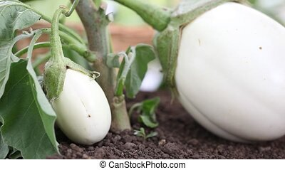 eggplants white plants, hand take care in the vegetable...