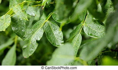 Leaves in rain - Raining, green leaves
