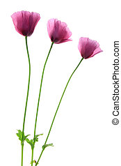 Poppies (Papaver somniferum) flowers isolated against white...