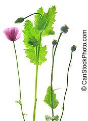 Poppy flower (Papaver somniferum) - Poppy flower (Papaver...