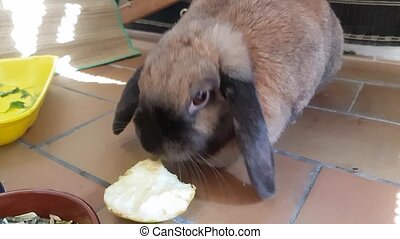Rabbit Eating Apple - Cute Brown Rabbit Eating an Apple on a...