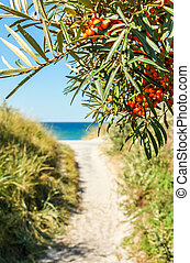 Path to sand beach lined with buckthorn. Baltic Sea, Hiddensee.