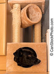 Dog at the cat scratching tree - lack dog looking out of the...