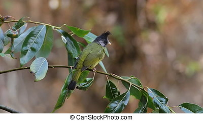Crested Finchbill Spizixos canifrons Cute Birds of Thailand
